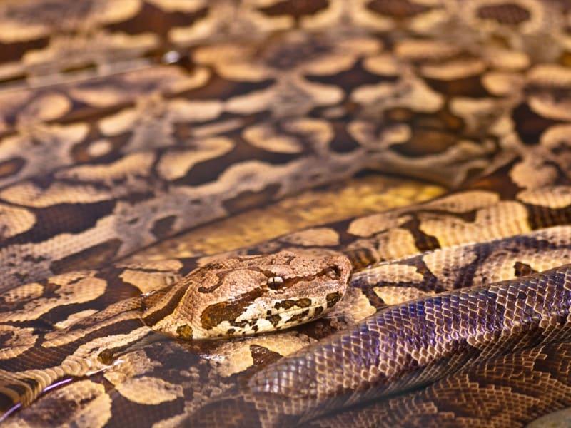 Serpiente pitón mascota del lenguaje Python